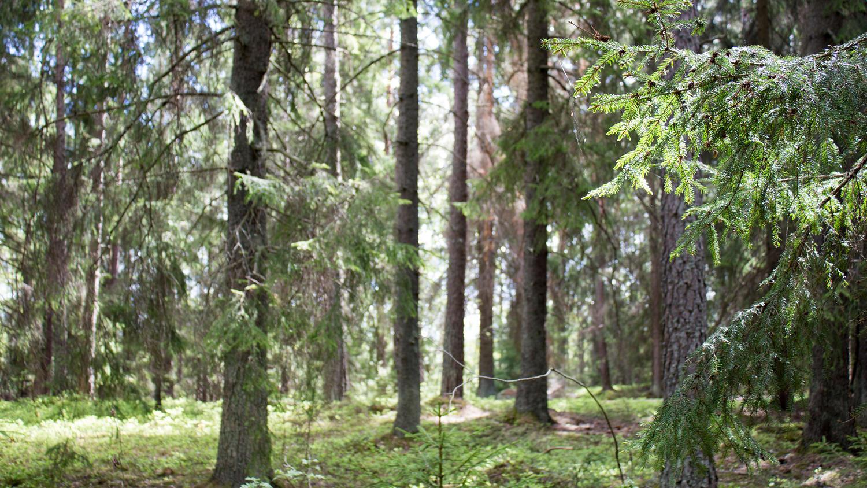 Forest (Sweden)