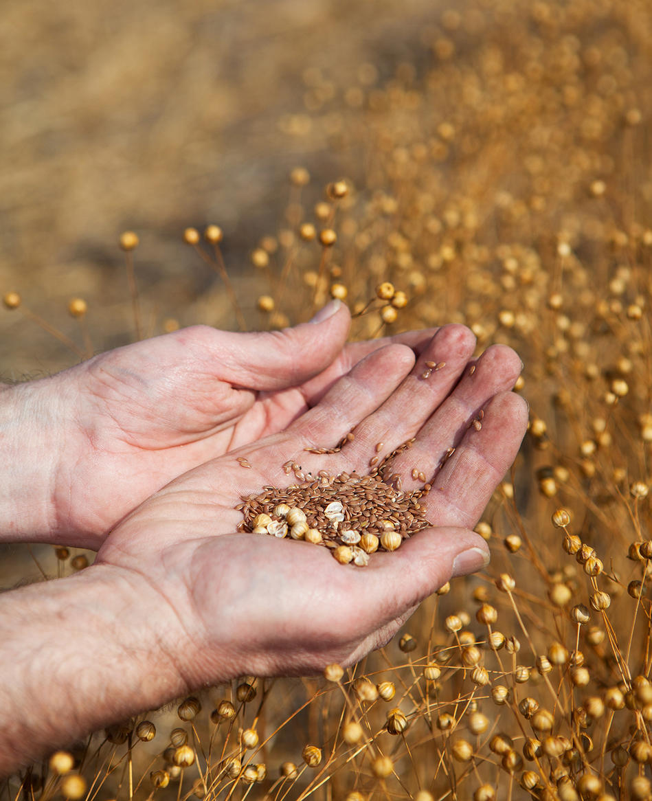 Picture: Linseed seeds are the main raw material of linoleum floor coverings