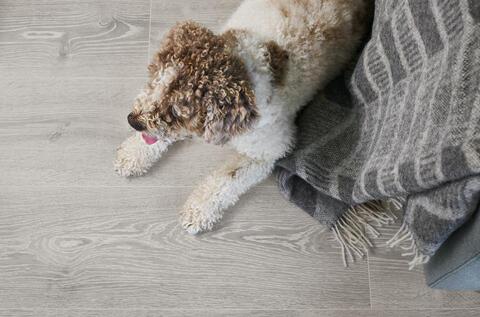 Hund på grått laminatgulv